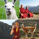 4-buchstaben-lösung-lama