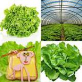 5 Buchstaben Lösung Salat