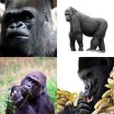 7 Buchstaben Lösung Gorilla