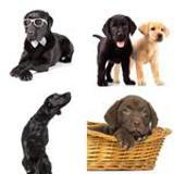 8 Buchstaben Lösung Labrador