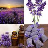 8 Buchstaben Lösung Lavendel